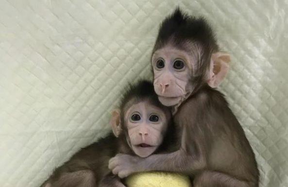 Scimmie clonate sfruttando il processo che ha portato alla nascita di Dolly