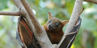 Ricerca sui pipistrelli per indizi sulla longevità