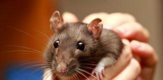 Hai un topo come animale da compagnia? Attenti a questo nuovo virus